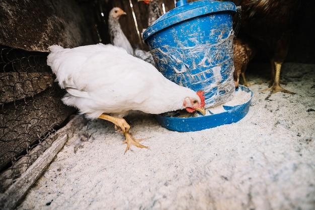 Gallina blanca alimentando forraje en el gallinero.