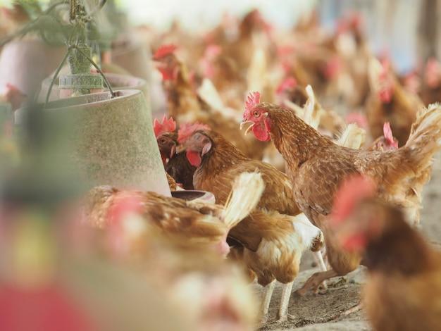 Gallina, huevo de gallina en la granja.