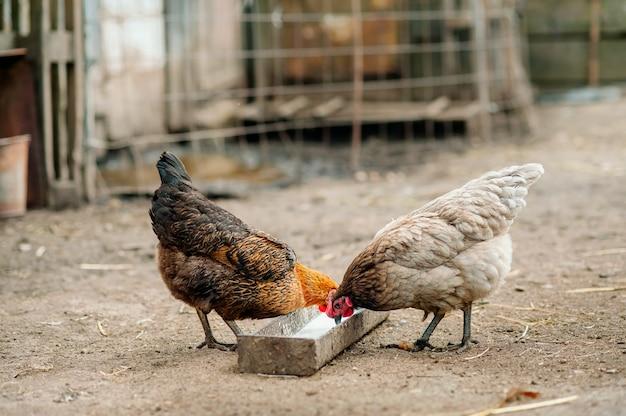 Gallina marrón que busca la comida en el corral. pollos gallo y gallinas de corral