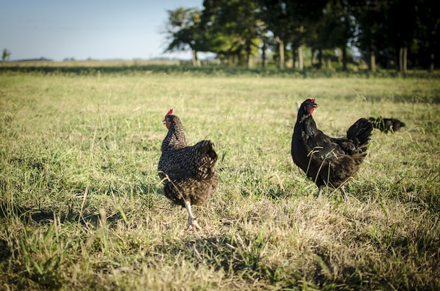Gallinas corriendo en el campo