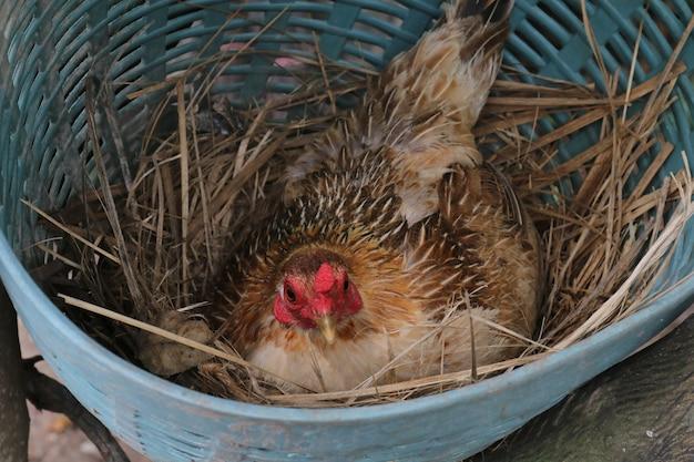 Gallinas, gallinas están incubando huevos en el nido