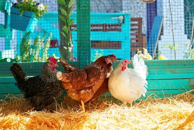 Gallinas en un gallinero con paja