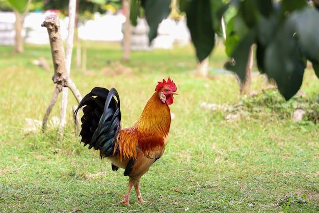 El gallo es hermoso en el jardín de tailandia