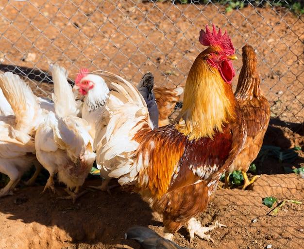 Gallo y gallinas en la casa de las aves de corral.