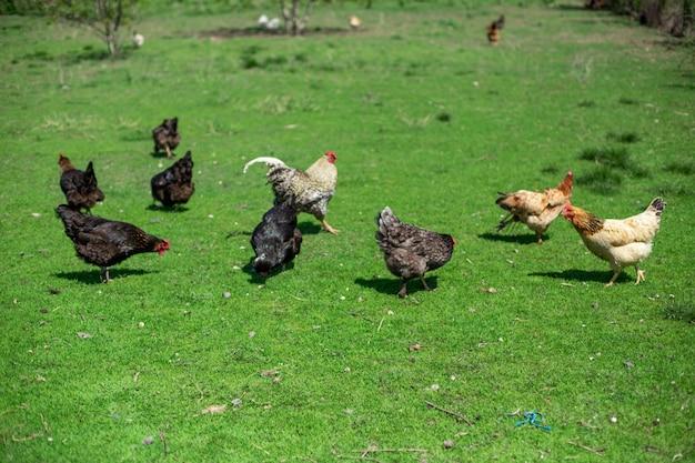 Gallo y gallinas pastan en la hierba verde. ganadería en el pueblo