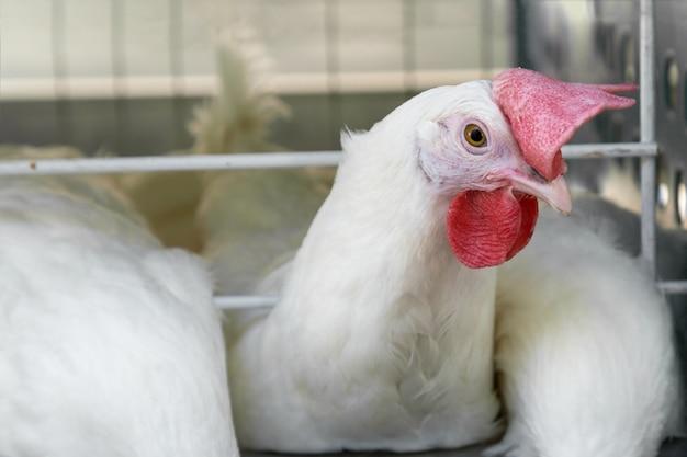 Un gallo joven en una granja avícola.