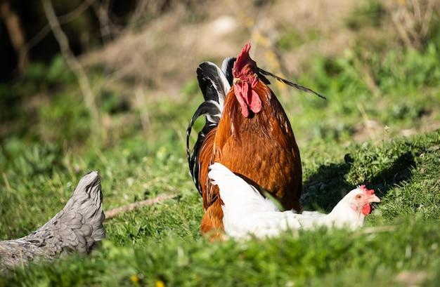 Un gallo majestuoso se para sobre la hierba verde y mira a lo lejos, y alrededor de él hay gallinas blancas. limpieza, vida rural.