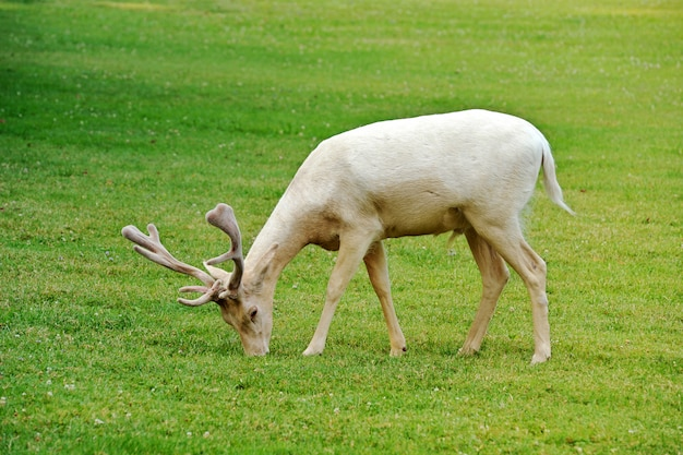Gamo albino