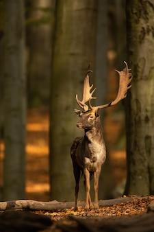 Gamo ciervo de pie en el bosque en otoño la naturaleza.