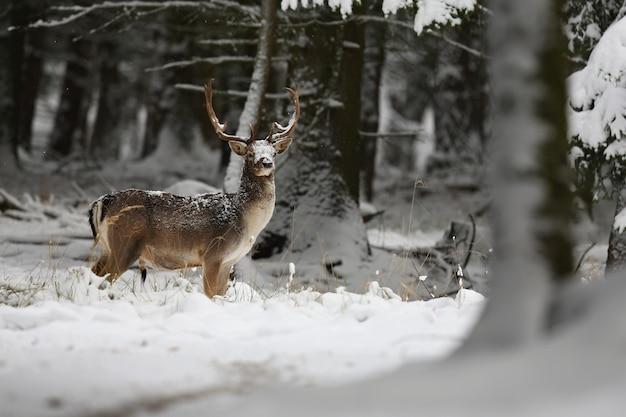 Gamo grande y hermoso en el hábitat natural de la república checa