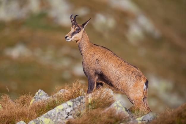 Gamuza, rupicapra rupicapra, de pie majestuosamente sobre rocas en las altas montañas.