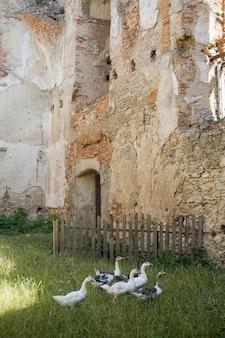 Gansos en el área de la antigua fortaleza