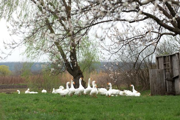 Los gansos están caminando en la primavera en el pueblo en el césped con hierba verde fresca