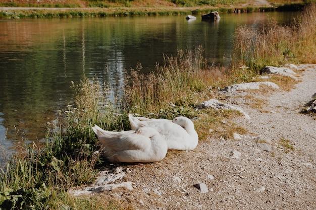 Gansos junto al río