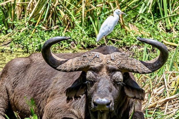 Garceta ganadera pequeña de pie sobre la cabeza de un búfalo de agua rodeado de vegetación bajo la luz del sol