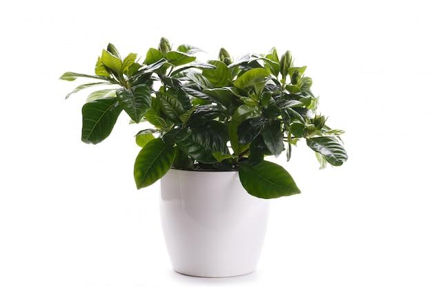Gardenia en una olla blanca