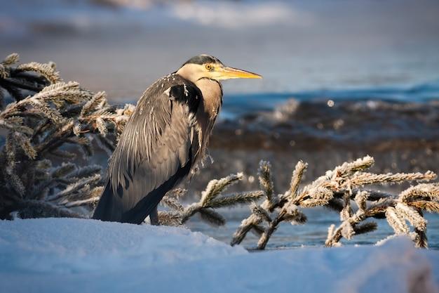Garza gris de pie cerca del río con agua que fluye al amanecer