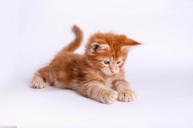 Gatito aislado en blanco