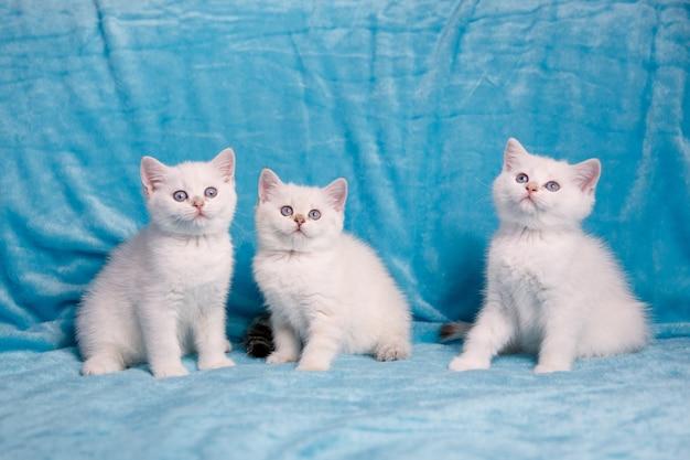 Gatito blanco tres