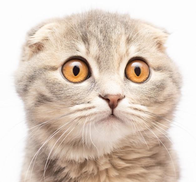 El gatito británico (escocés) es muy hermoso. mira directamente. el gatito británico mira muy de cerca. ojos de gato grandes ojos amarillos