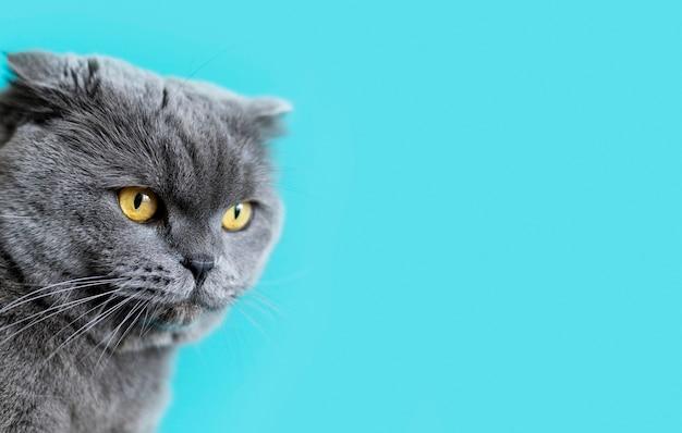 Gatito británico de pelo corto con pared monocromática detrás de ella
