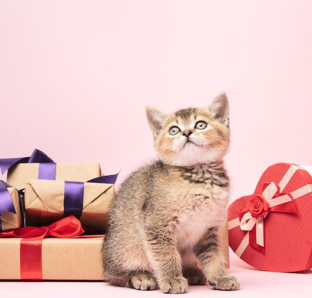 Gatito escocés raza recta chinchilla dorada se asienta sobre un fondo rosa y cajas con regalos, fondo festivo