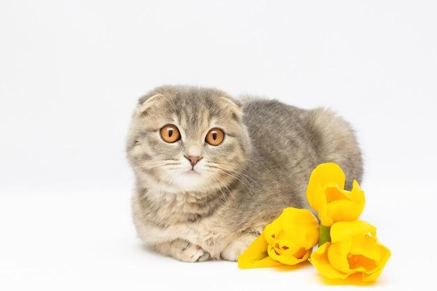 Gatito escocés con retrato de flores amarillas sobre fondo blanco.