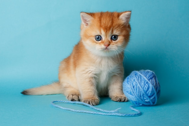 Gatito golden chinchilla británica sobre un fondo azul con una pelota