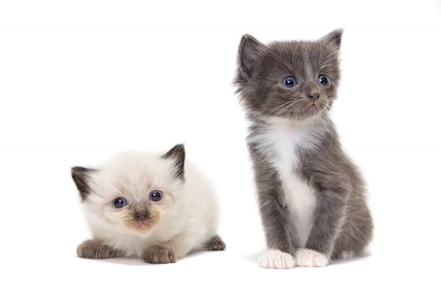 Gatito gris y blanco sobre fondo blanco