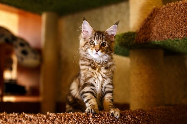 Gatito hermoso en una raya maine coon.