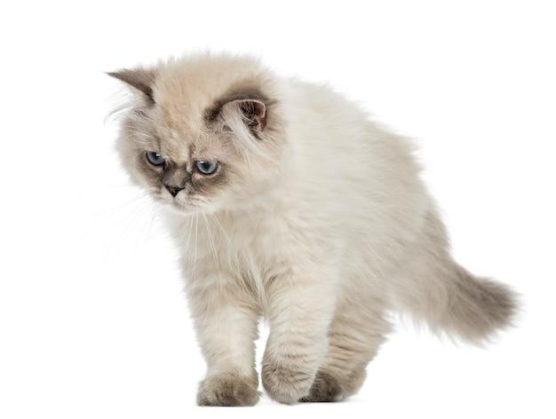 Gatito de pelo largo británico caminando, mirando hacia abajo