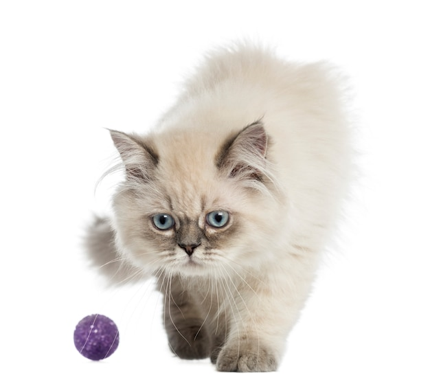 Gatito de pelo largo británico jugando con una pelota