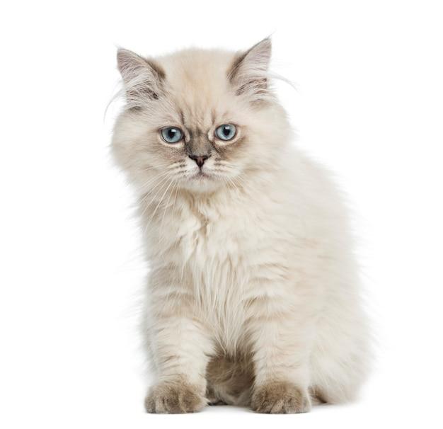 Gatito de pelo largo británico sentado aislado en blanco