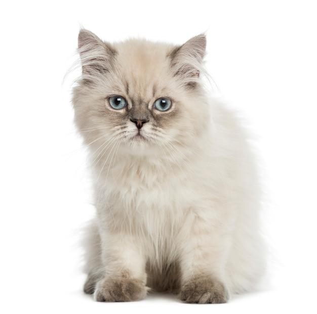 Gatito de pelo largo británico, sentado, mirando a la cámara