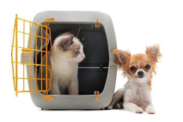 Gatito en porta mascotas y chihuahua