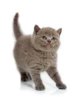 Gatito rayado gris aislado en un blanco