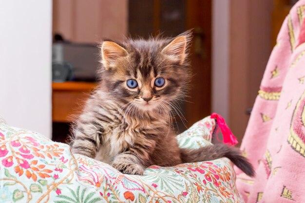 Un gatito rayado con ojos azules sentado en la habitación sobre la almohada