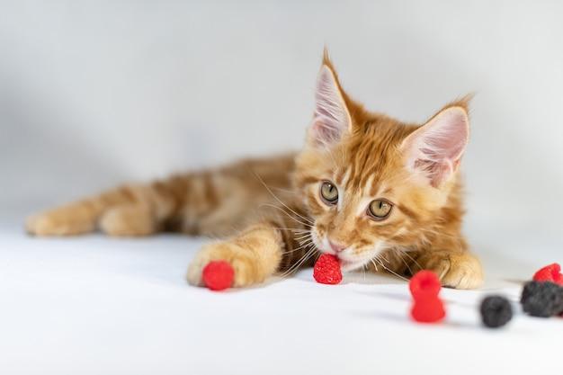 Gatito rojo maine coon. linda, la raza de gato más grande y hermosa. fondo blanco