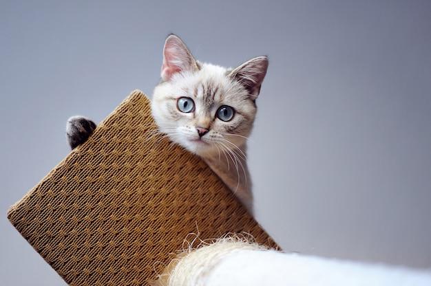 Gatito sentado en la parte superior del soporte del rascador de gato y mirando hacia abajo