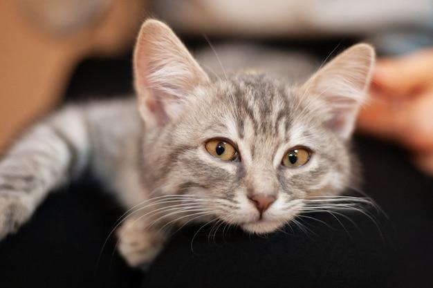 Gatito soñoliento en las rodillas de una niña. gatito casero con una cara atractiva linda.