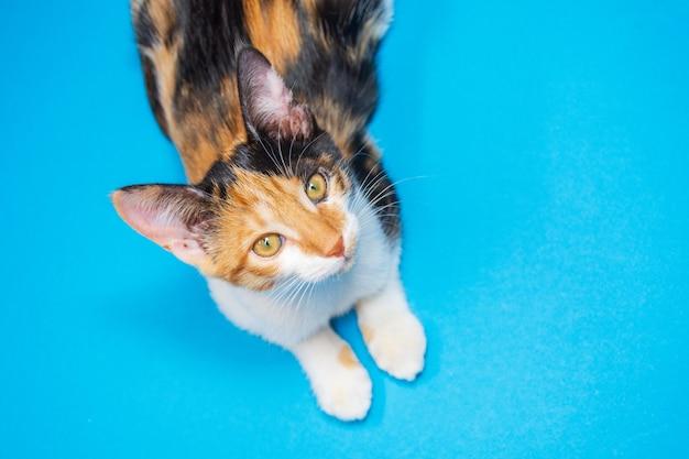 Gatito tricolor sobre un fondo azul mira a la cámara.