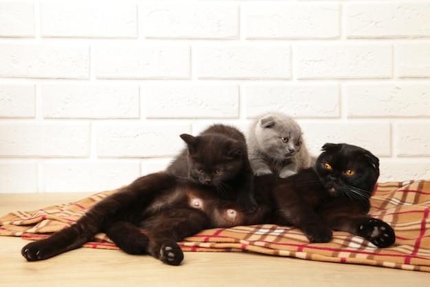 Gatitos británicos negros y grises con mamá sobre fondo a cuadros