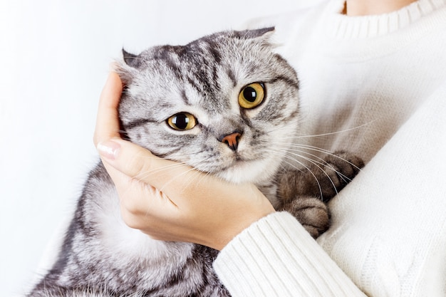 El gato abraza la mano de una niña. suéter de punto con un lindo gatito. gatito escocés