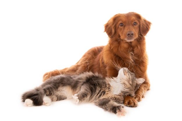 Gato acostado mirando a un perro perdiguero de peaje del pato de nueva escocia
