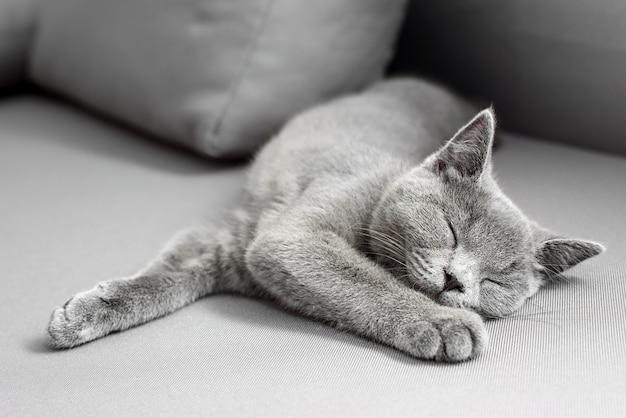 Gato acostado sobre fondo gris