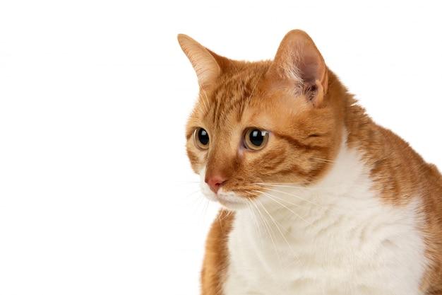 Gato adulto marrón y blanco con sobrepeso