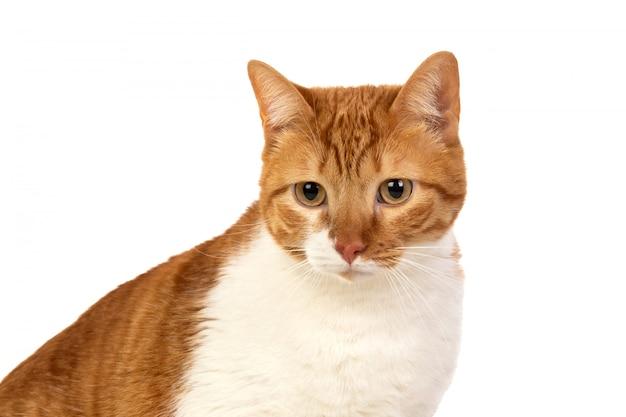 Gato adulto marrón y blanco