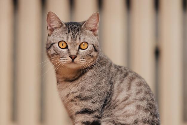 Gato atigrado blanco y negro con ojos naranjas.