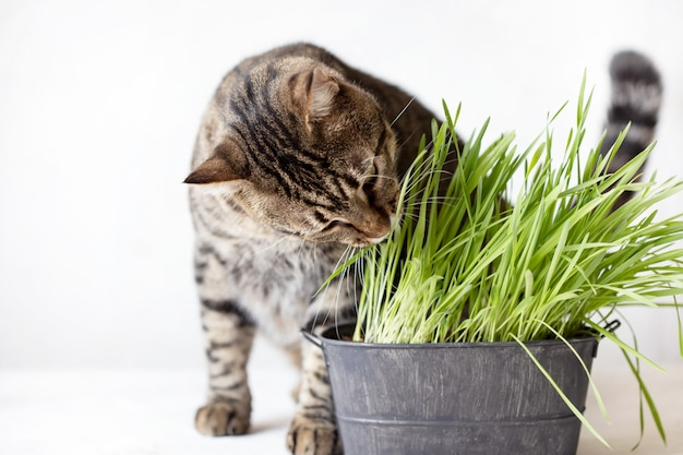 Gato atigrado come hierba verde fresca. hierba de gato. comida útil para animales