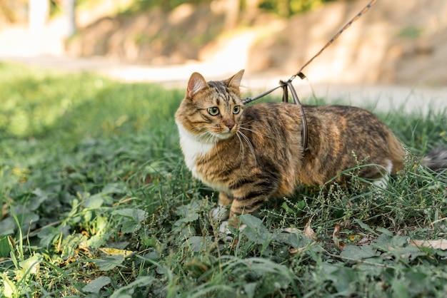Gato atigrado marrón con collar de pie en el jardín